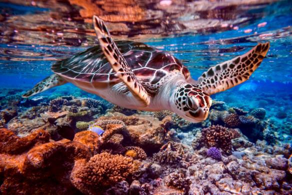 Tortuga nadando en agua no contaminada